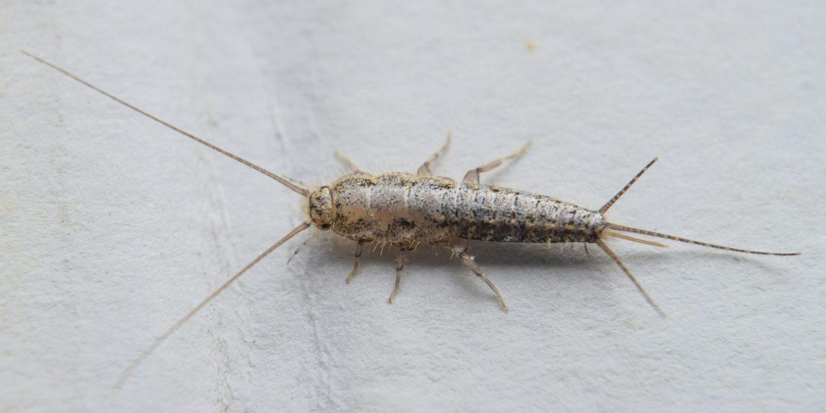 Silverfish Control - Pest Control Solutions & Services - Tampa Bay, FL